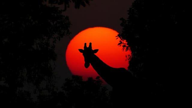Giraffe bei Sonnenuntergang, Afrika