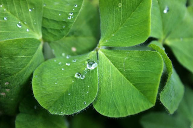 Irish Clover, Irlands Nationalsymbol