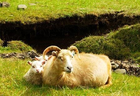 Schafzucht - wichtigster Zweig der Landwirtschaft Islands