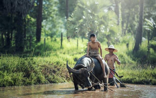 Traditioneller Reisanbau mit Wasserbüffel in Thailand