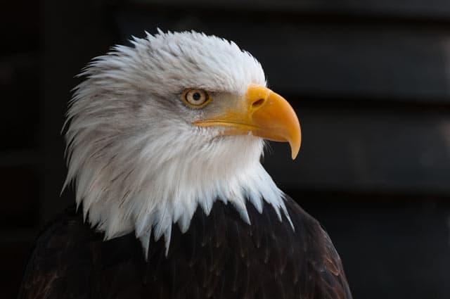 Weißkopfseeadler, Wappentier der Vereinigten Staaten